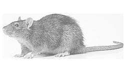 rat_bw